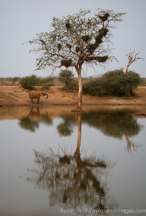Africa, South Africa, Madikwe. A lone elephant and tree reflected at water's edge.