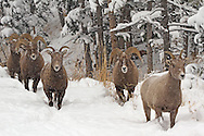 During late autumn, rocky mountain bighorn sheep migrate down from the jagged peaks of the Absaroka Range to spend winter in the lower elevation meadows of the Shoshone National Forest. This group of ewes and rams navigate through an early season snowstorm to reach their destination of a snowless field filled with dried grasses.