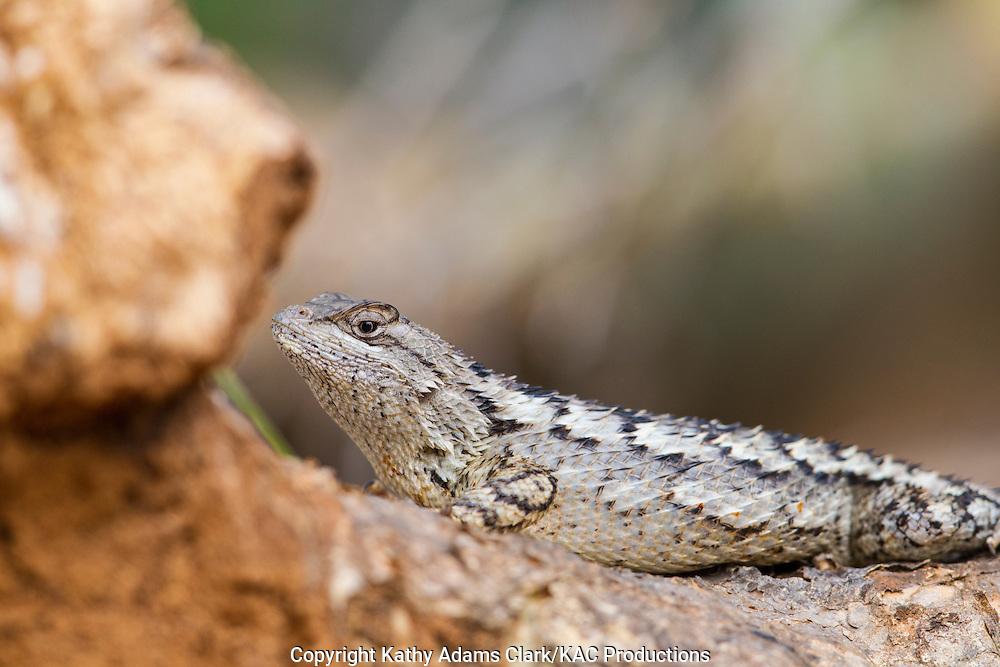 Eastern fence lizard, Sceloporus undulatus, San Jose Ranch, near Laredo, Texas.