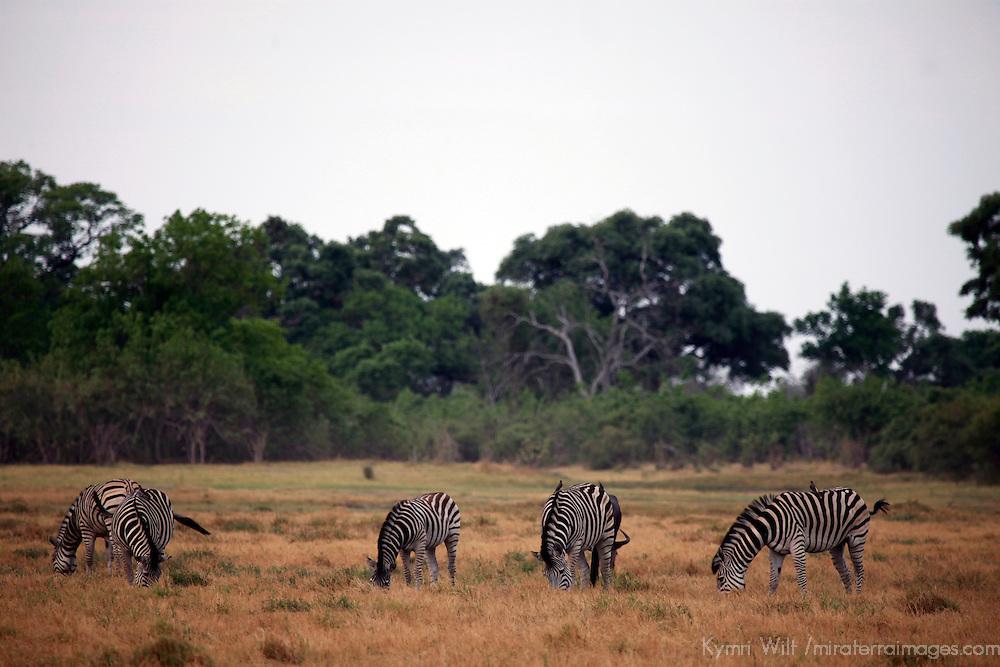 Africa, Botswana, Chobe. Zebras of Savute.