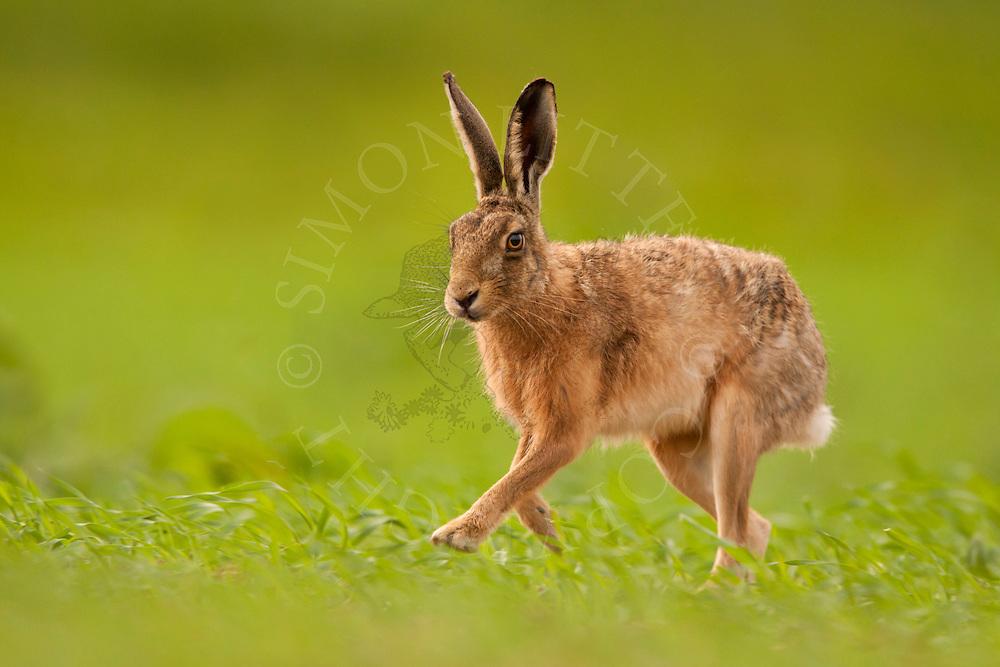 European Hare (Lepus europaeus) adult, running through crop, Norfolk, UK.