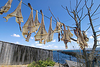 "Formentera's dried fish - Peix Sec de Formentera, in Torrent de S´alga. According to the traditional method, local fish varieties of skate are dried in the sun and wind, hanged in the local tree called ""sabina"" (Juniperus phoenicea turbinata)"
