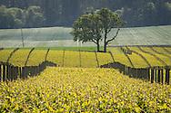 Argyle's Lone Star Vineyard, Eola Hills AVA, Willamette Valley, Oregon