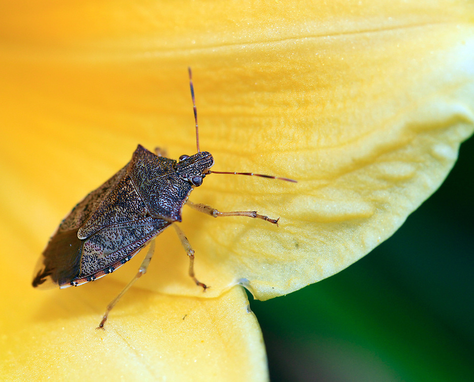 Stink Bug (Shield bug)