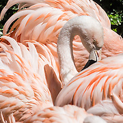 Chilean Flamingo / Phoenicopterus chilensis, at Woodland Park Zoo, Seattle, Washington, USA. [ Photographed on Sony RX10 III camera at 220mm (600mm equivalent) at f/5.6, 1/1600th second, ISO 100 using raw file. Exposure +1.86 EV in Adobe Lightroom, Highlights -84. ]