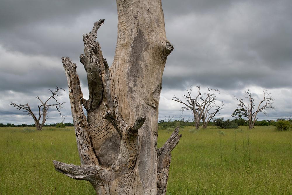 Africa, Botswana, Chobe National Park,  Bleached tree surrounded by green grass growing in Savuti Marsh during rainy season