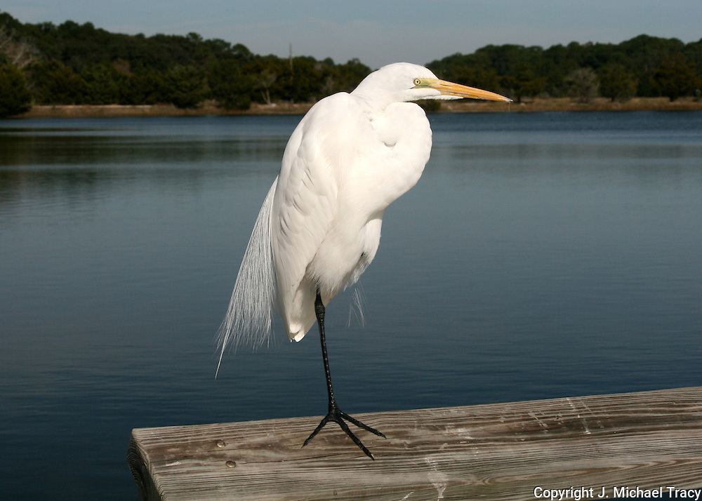 A Great Egret standing on one leg on a dock on Jekyll Island Georgia.