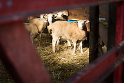 WESTBY, WI — DECEMBER 9: An adolescent sheep at the Hidden Springs Creamery farm looks through the entrance gate.