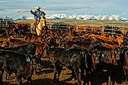 Cowboy Randy Jackson ropes and drags calves to the fire to be branded, Wilsall, Montana, Bridger Mountains,<br />