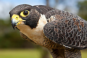 The peregrine falcon is the true jet fighter of the skies!  As one of the deadliest birds of prey, it is the world's fastest bird.  It swoops down on its panic-stricken prey at speeds of up to 273 miles per hour (440 kilometers per hour)!  It will often use its talons to strike the prey in order to stun it and knock it to the ground.  The peregrine Falcon then picks up its prey off the ground and carries it to a sheltered place to eat.  Main prey include birds that fly in flocks, such as pigeons, parrots, and starlings.  Here is a portrait of a peregrine falcon.