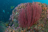 Whip Corals and Reef Fish