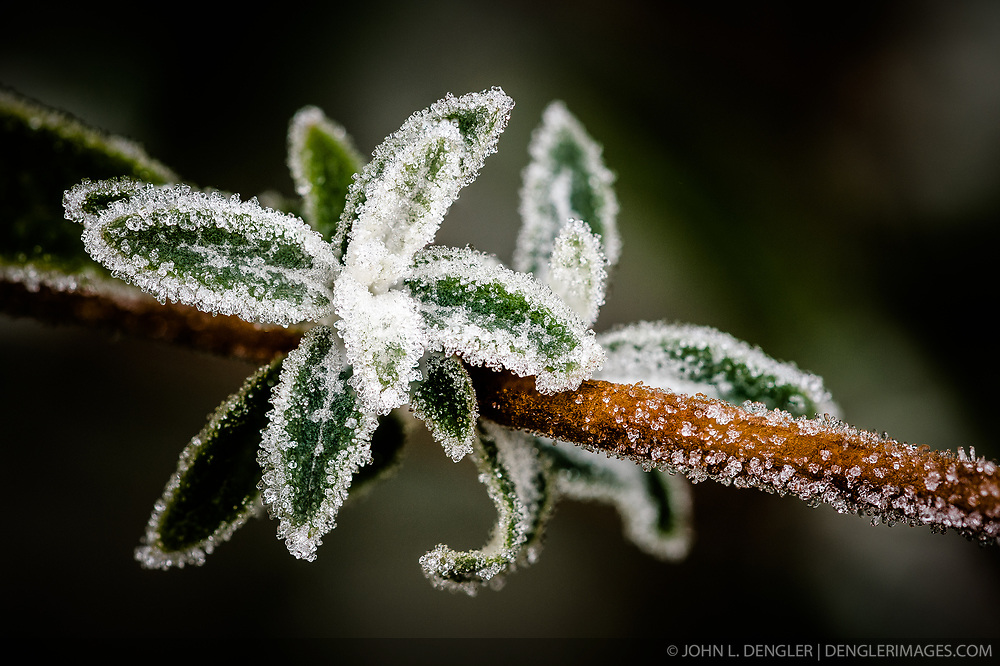 A fall frost delicately adheres to the leaves of a butterfly bush in a backyard in Springfield, Mo. Editor's note -- Image is a focus blend/focus stacked image.