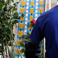 South America, Ecuador, Cayambe. A factory worker at Rosadex Plantation measure and trims long-stemmed roses.