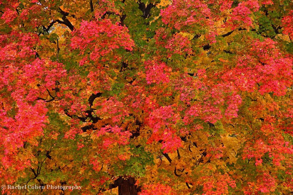&quot;Changes in the Morning&quot;<br /> <br /> An early morning look at a huge and beautiful Maple tree. Leaves turning pinkish, yellow, and red, with green still mixed among the foliage! A simple and lovely autumn image!!<br /> <br /> Fall Foliage by Rachel Cohen