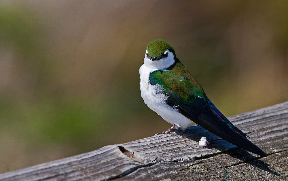 This violet-green swallow took a rest from catching insects over the Fort Worden State Park beach on a dock railing.