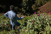 El CALVARIO, MEXICO - AUGUST 5, 2015: A man in an opium poppy field hidden into a gully in the mountains close to the Chilpancingo city, the capital of the state of Guerrero, Mexico.  Rodrigo Cruz for The New York Times