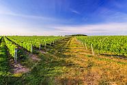 Field of Grape Vines, 7035 Mattituck, NY Hi Rez