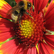 Bee in mid-flight above a Indian Blanketflower. The flower is in the genus of Gaillardia sp. and also known as Firewheel, Indian blanket, Indian Blanketflower, or Sundance. It is a short-lived annual flowering plant having vivid red, orange, and yellow colors. It is a part of the Asterales order and the Asteraceae family.