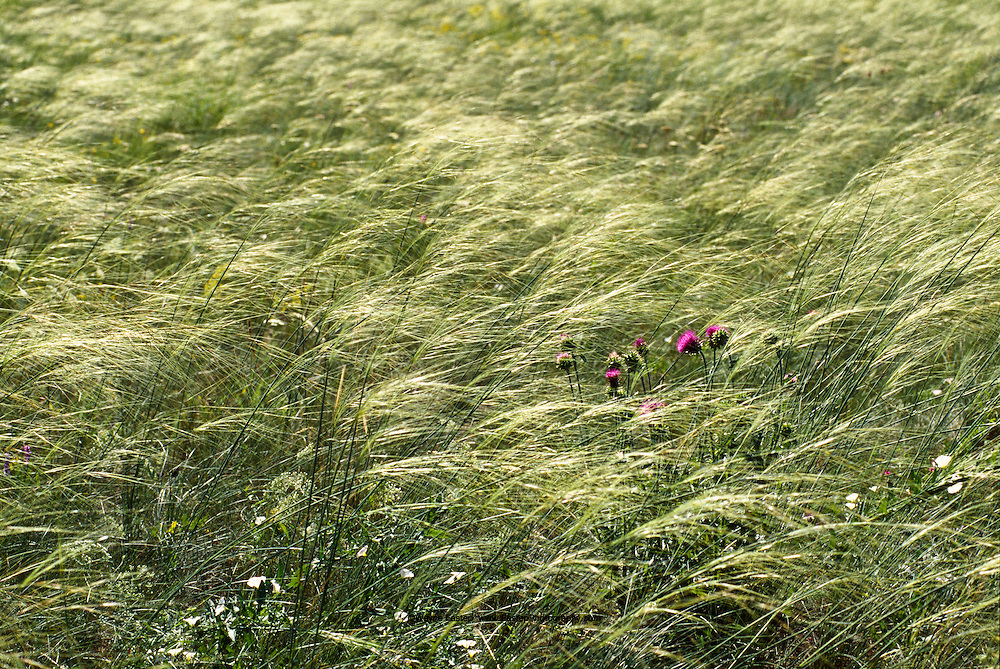Feather Grasses, like these near Sergeyevka, have grown for millennia only in the thin topsoil of the Steppes, some varieties are now scarce or endangered species.  The Steppes were covered in this ideal pasturage prior to the Soviet's misguided Virgin Land Reclamation policy of the 1950s under which nearly 25 million hectares (about 62 million acres) of northern Steppes were plowed up to plant wheat.