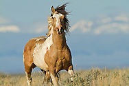 The pinto stallion, Traveler, charges towards a rival stallion as they battle for mares at McCullough Peaks Herd Management Area.