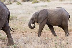 Elephants at Samburu National Reserve, located on the banks of the Ewaso Ng'iro river in Kenya; Africa. There is a wide variety of animal and bird life seen at Samburu National Reserve / Elefantes em Samburu, localizado no Rift Valley, no Quenia. Eh um dos grandes parques nacionais do Quenia, na Africa importante refugio de vida selvagem