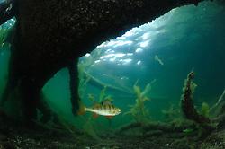 Flussbarsch (Perca fluviatilis) in seinem Revier  - Stechlinsee