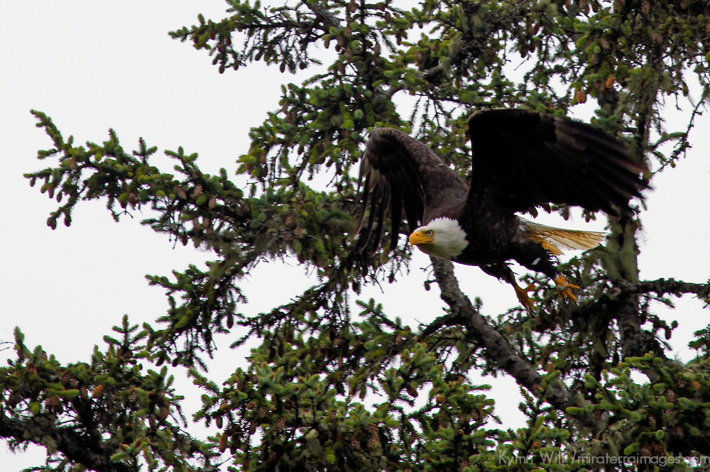 North America, Canada, British Columbia, Vancouver Island. Bald Eagle in flight.