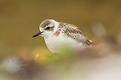 New Zealand Dotterel Pictures - Photos