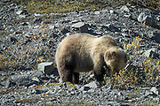 Wildlife photographs of Alaskan Brown Bear (Ursus arctos) from Denali National Park of The Alaska Range, AK