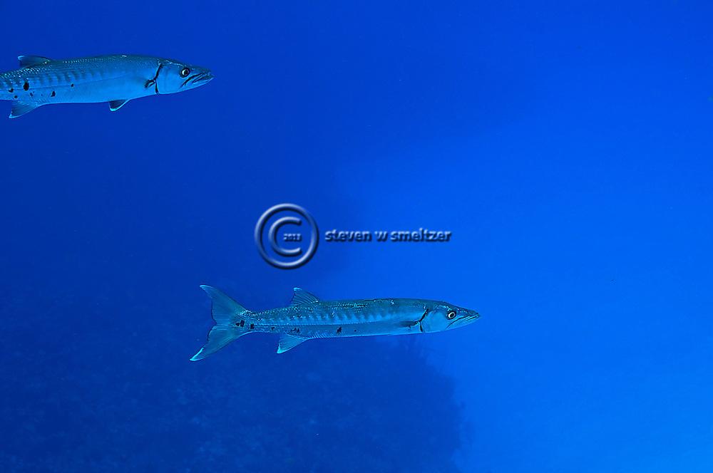 Dynamic Duo, Great Barracuda, Sphyraena barracuda, (Edwards in Catesby, 1771), Grand Cayman