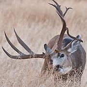 mature trophy muledeer buck rutting doe droptine buck
