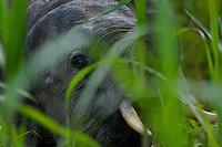 Young male Borneo Pygmy Elephant peers at the photographer through tall grass of Kinabatangan Wildlife Sanctuary, Borneo Island.
