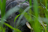 Young male Borneo Pygmy Elephant peers at the photographer through tall grass of Kinabatangan Wildlife Sanctuary, Borneo Island.