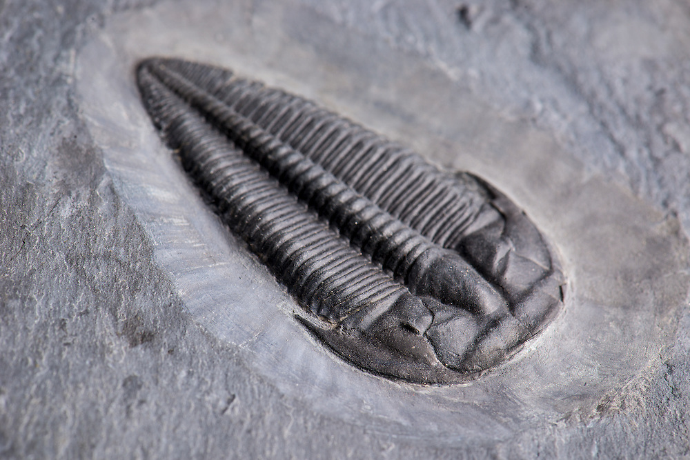 Kochina vestina  (sagittal length: 62mm) is a very rare ptychopariid from the Middle Cambrian Spence Formation of Utah. This is onlu one of three complete specimens ever found.