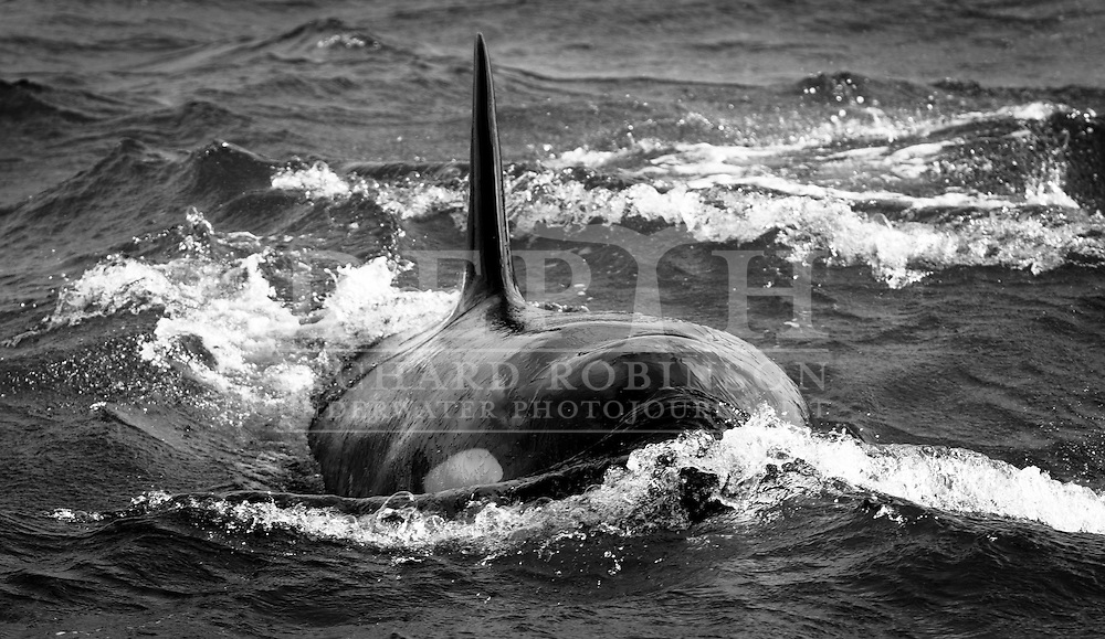 A pod of Orcinas orca (Orca/Killer Whale) traveling north 3.7km offshore and 4.45km off Tutukaka Head at approximately 4:20pm Saturday 29 September 2013<br /> Photograph Richard Robinson &copy; 2013.