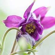 Aquilegia vulgaris - European columbine - Akeleie
