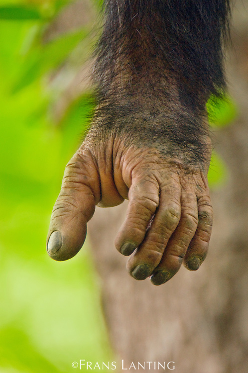 Juvenile chimpanzee's foot, Pan troglodytes verus, Fongoli, Senegal