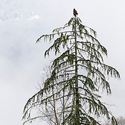 A juvenile bald eagle (Haliaeetus leucocephalus) dries out its wings while perched at the top of a tree along the Skagit River in the North Cascades of Washington state.