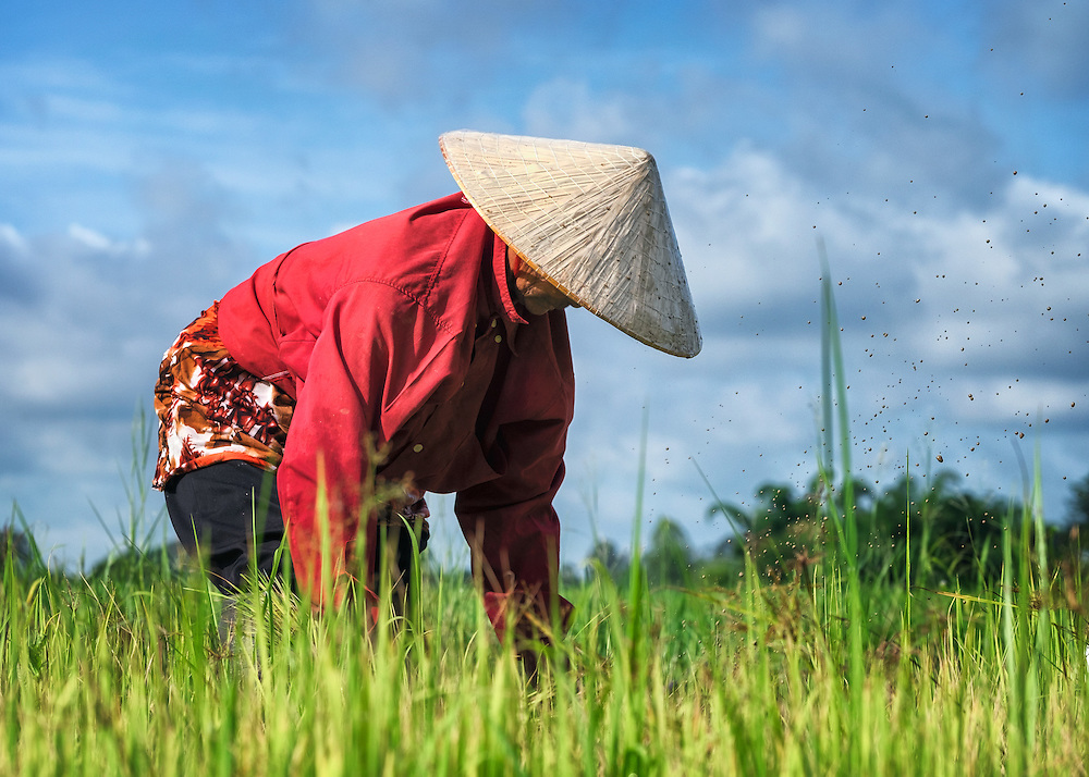 Transplanting Rice, Nakhon Nayok, Thailand PHOTO BY LEE CRAKER