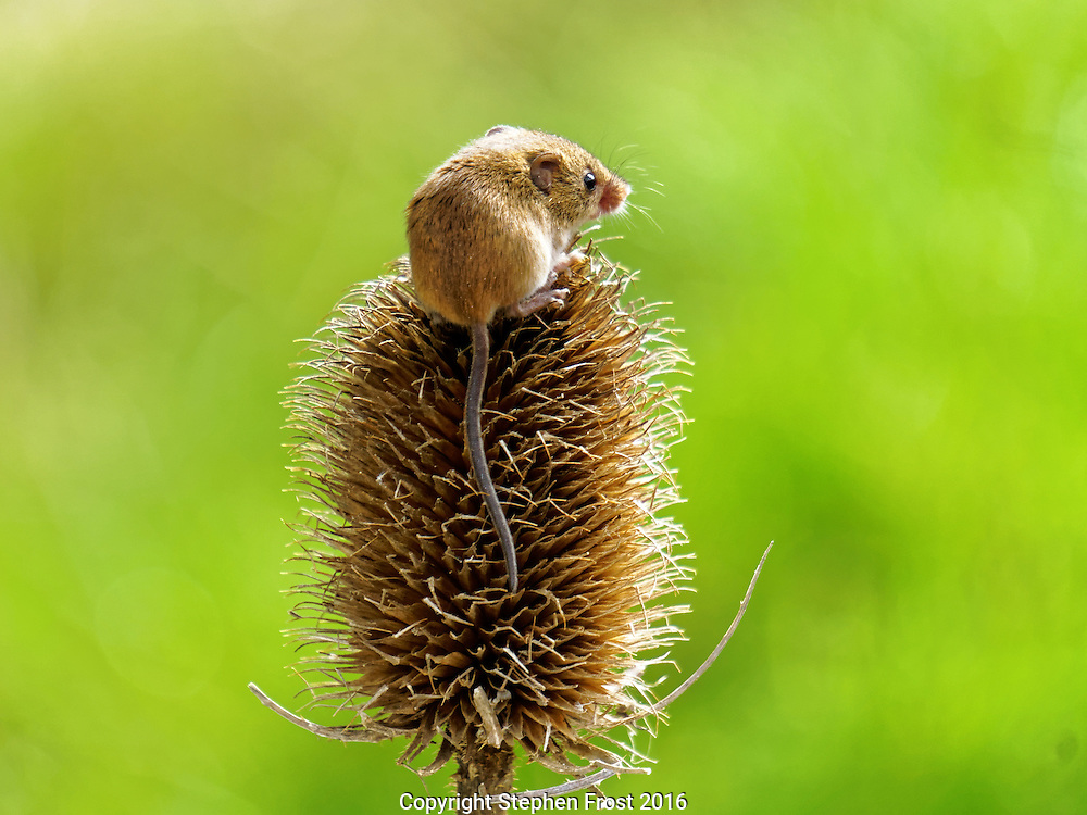 A tiny Eurasian Harvest Mouse (Micromys minutus) on a teasel plant in Sussex, England.