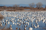 Pacific Flyway Waterfowl, Sacramento National Wildlife Refuge, California