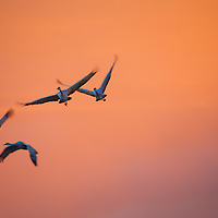 Executing a right turn, this Sandhill Crane three-ship turns to join the streaker flying below them