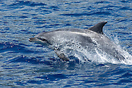 oceanic bottlenose dolphin, Tursiops truncatus, Azores Islands, Portugal, North Atlantic Ocean &amp;#xD;&copy; KIKE CALVO &amp;#xD;<br />