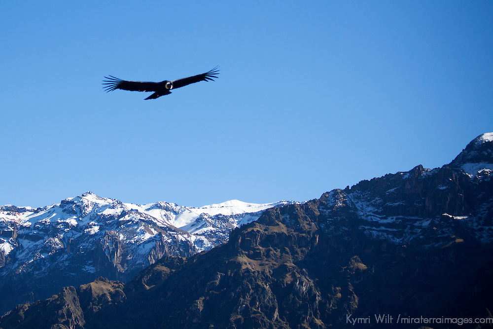 South America, Peru, Colca Canyon. Male Adult Andean Condor flies over the Andes.