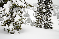 snowladen Subalpine Fir trees a Paradise Valley, Mount Rainier National Park, Washington, USA