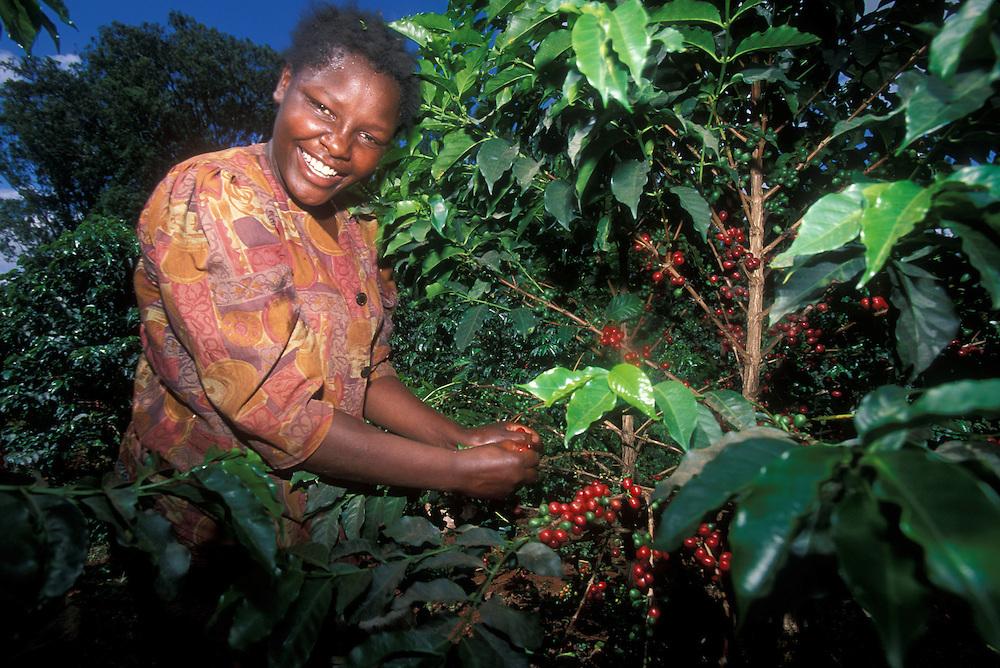 Africa, Kenya, Ruira, (MR) Young woman picking Arabica coffee beans from tree at Socfinaf's Oakland Estates plantation
