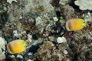 Blacklip Butterflyfish, Chaetodon kleinii, Bloch 1790, Molokai