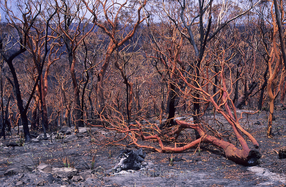 The results of a bush fire, Heathcote, Royal National Park, Australia.