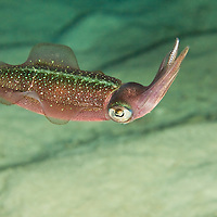 Caribbean Reef Squid (Sepioteuthis sepioidea) at night.