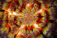 A close-up of the colorful and contrasting spines of the highly venomous fire urchin warn potential predators away.  Each red ball at the end of every spine is filled with a toxin that will cause a searing burn.